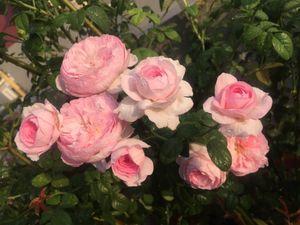 Ngắm vườn hồng rực nắng của người phụ nữ yêu hoa tại Hải Phòng