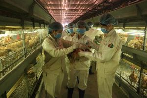 Dabaco là doanh nghiệp đầu tiên xử lí triệt để bệnh viêm khớp MS trên gà