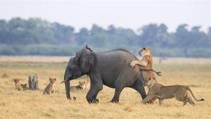 Nhắm voi con làm mồi, đôi sư tử ê chề phút cuối