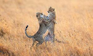 Ảnh động vật: Báo gấm 'khiêu vũ' trên đồng cỏ, hươu đực quyết chiến...
