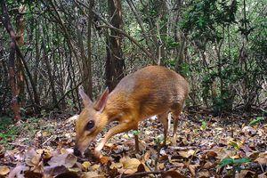 Hươu chuột tái xuất: Hy vọng cho nỗ lực bảo tồn báu vật thiên nhiên