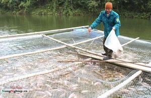 Bắc Kạn: Đột phá nuôi cá ở huyện vùng cao Chợ Mới