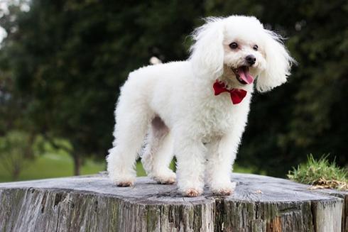 Top 12 giống chó đẹp nhất trên thế giới