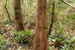 Lập biên bản 1 vụ cưa trộm gỗ rừng trồng