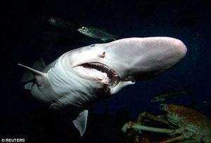 Cá mập 'yêu tinh' và nỗi ác mộng của đại dương
