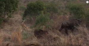 Trâu rừng mẹ bất lực trước nanh vuốt bầy sư tử