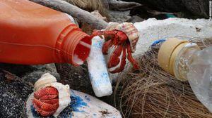 Hàng nghìn con cua ẩn sỹ chết vì bị mắc kẹt trong chai nhựa