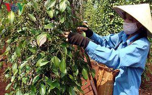 Tây Nguyên: Nghịch lý nhà nông mang nợ trên đất bazan màu mỡ