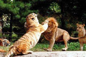 1001 thắc mắc: Hổ - Sư tử, kẻ nào thực sự là chúa sơn lâm?