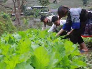 Tin NN Tây Bắc: Trồng rau đặc sản ở Mù Cang Chải