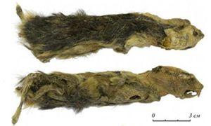 Nữ sinh phát hiện xác chuột đóng băng 41.000 năm tuổi