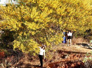 Phan Thiết: 'Đến hẹn lại lên' rực rỡ sắc vàng keo lá tràm