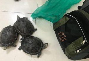 Đi ra đồng xả lũ, người đàn ông bắt được 3 con rùa quý hiếm