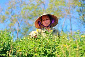 Sắc vàng ngập các vườn hoa Pleiku, dân trồng mai lo vì hoa nở sớm