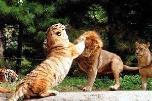 Hổ - Sư tử, kẻ nào thực sự là chúa sơn lâm?