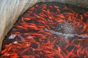 Làng cá chép đỏ sẵn sàng cho ngày tiễn Táo quân về trời