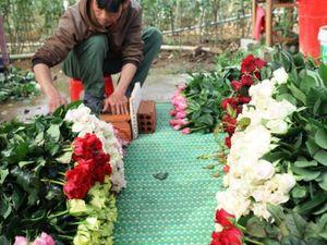Tin Tây Nguyên: Nông dân Đà Lạt phấn khởi vụ hoa Tết
