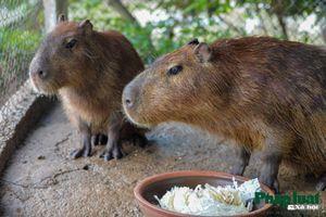 Năm Tý, ngắm loài chuột to như con lợn ở Hà Nội