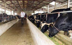 Hà Nội cơ cấu lại chăn nuôi theo hướng tập trung