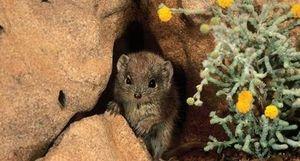 Chuyện về loài Chuột ngày xuân