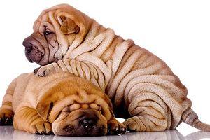 Điều thú vị về Shar Pei – giống chó nhăn quý hiếm nhất hành tinh