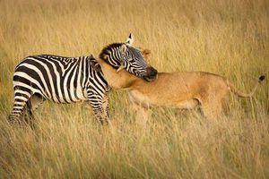 Sự thật 'bi thảm' sau bức ảnh sư tử ôm ngựa vằn 'thắm thiết'
