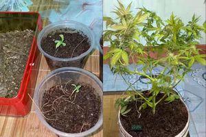Nam thanh niên trồng cần sa trong nhà để bán