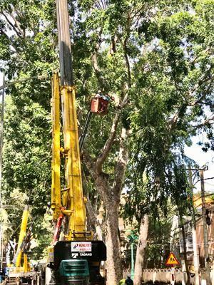 Cắt tỉa cành, nhánh, hạ độ cao cho hơn 700 cây cổ thụ