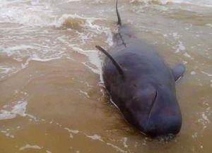Cá 'Ông Chuông' hơn 500 kg mắc cạn trên bờ biển Quảng Ngãi