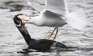 Ảnh động vật: Mòng biển táo tợn cướp cá của chim cốc