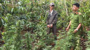Tạm giữ người đàn ông trồng hơn 1.000 cây cần sa