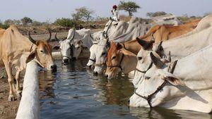 Ấn Độ nghiên cứu thuốc trị ung thư từ phân và nước tiểu bò