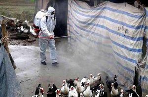 Hải Phòng xuất hiện ổ dịch cúm gia cầm A/H5N6 đầu tiên