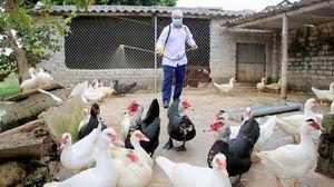 Hải Phòng: Tiêu hủy hơn 3.700 con gia cầm nhiễm virus cúm A/H5N6