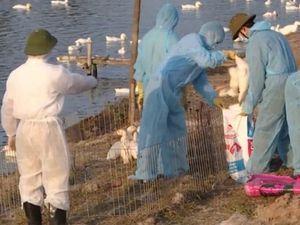 Hải Phòng: Phát hiện ổ dịch gia cầm A/H5N6 đầu tiên tại Kiến Thụy