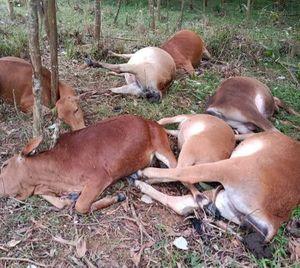 Phú Thọ: Sét đánh chết 7 con bò