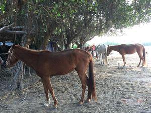 Gian nan nghề nuôi ngựa đua
