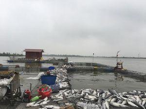 Hải Dương: Hàng trăm tấn cá lồng chết bất thường nghi do ô nhiễm