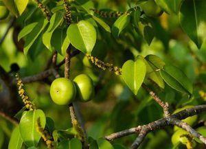 1001 thắc mắc: Loài cây nào mà đứng cạnh cũng khiến con người mất mạng?