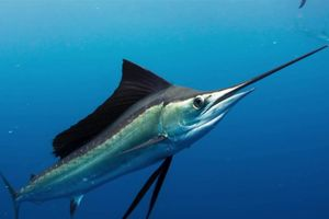 Loài cá có tốc độ hơn 100 km/h, nhanh nhất dưới đại dương