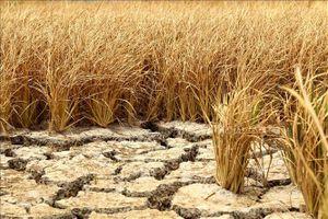 Xả nước ứng cứu lúa bị hạn, mặn