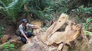 Vụ phá rừng ở Kông Chro: Phát hiện thêm hàng chục cây gỗ lớn bị đốn hạ