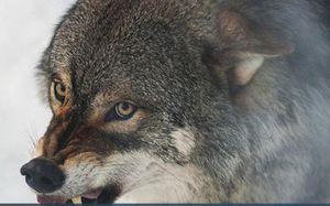 'Quỷ núi' đơn độc chống lại đôi sói xám giữa sườn núi tuyết