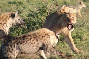 Mẹ con sư tử bị bầy linh cẩu bao vây
