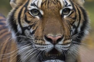 Hổ ở sở thú New York dương tính với virus corona