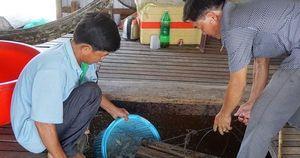 Chuyện con cá kêu 'éc éc' ở Phú Tân - An Giang