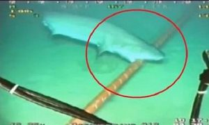 Cá mập thích cắn cáp quang biển vì... tò mò