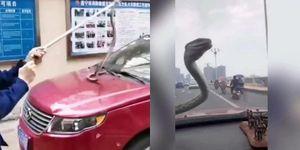 Kinh hãi đang lái xe gặp ngay rắn độc trên kính chắn gió
