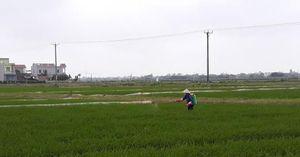 Nam Định: Dịch bệnh 'bủa vây' đồng ruộng