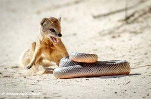 Đại chiến giữa rắn và cầy mangut: Con mồi lật ngược tình thế